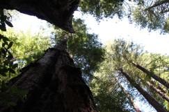 Muir Wood